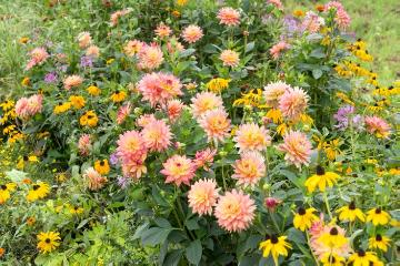 coneflower (Genus), dahlia (Genus), Spider Flower