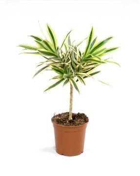 Dracaena reflexa, varigated leaves, white background