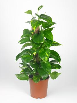 Epipremnum aureum, white background