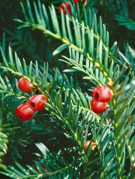 Fruits, Taxus baccata