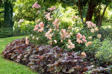 Coral Bell, Shrub rose