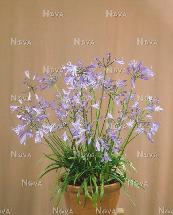 75 03 58 Agapanthus Baby Blue
