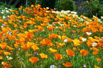 Eschscholzia californica, Flower meadow, Oxalis crassipes
