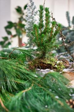 Christmas decoration, Christmas, Picea glauca Conica