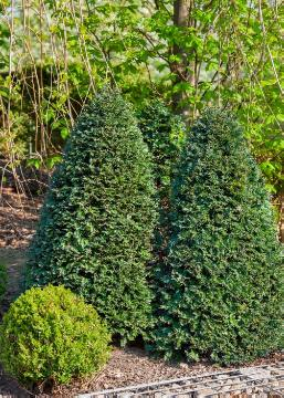 Common Box, Taxus baccata, topiary pruning