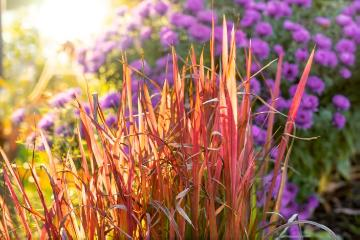 Autumn, Fall plants, Herbstdekoration, herbstlich, Japanese blood grass