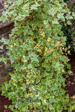 Common Ivy, varigated leaves