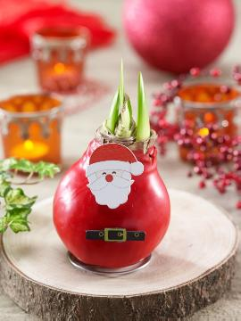 amaryllis (Genus), Baldur, Christmas decoration, Christmas