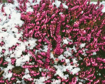 Erica carnea, snow, Winter