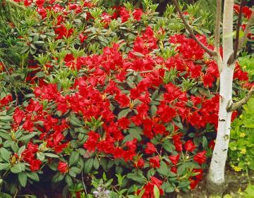 Forrest's Rhododendron