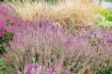 Autumn, Calluna vulgaris