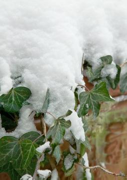 Common Ivy, Frost, impression, Plant container «Accessories in the Garden», Winter impression, Winter