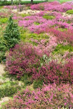 Calluna vulgaris, Common Juniper, heath (Genus), Plants for Acid Soil