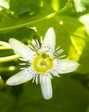 Annual Passion Flower