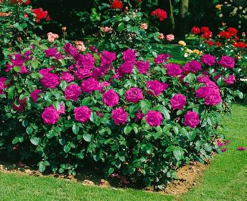 bed «border with summer flowers and vegetables», Hybrid Tea, Rosa (Genus)