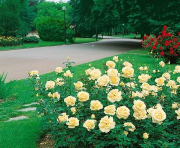 Hybrid Tea, Rose border