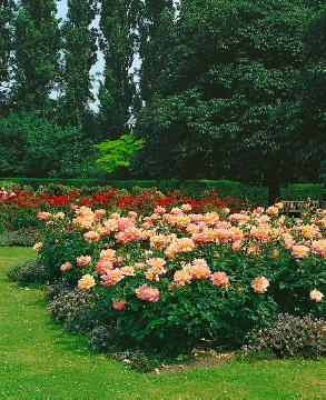 Beetrose, Floribunda rose, Rose border, Rose garden