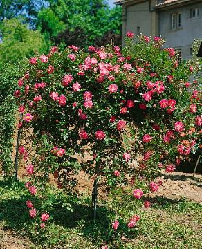 long stemmed rose, Shrub rose, Weeping Standard Roses
