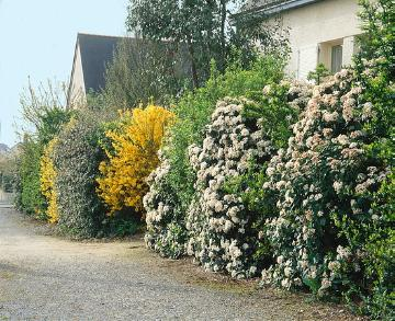 flowers hedge, hedge plant, hedge, Mixture (Mix), Shrubs and Palms, Springtime