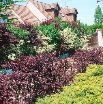 Barberry, Cornus (Genus), flowers hedge, hedge, Mixture (Mix), Shrubs and Palms