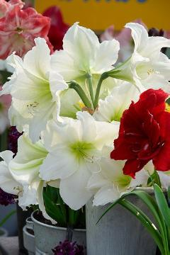 amaryllis (Genus), Amaryllis bella-donna, bouquet of flowers, Cut Flowers, Onion (Familia)