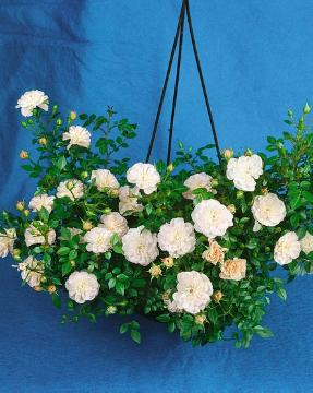 hanging flower basket, Miniature rose