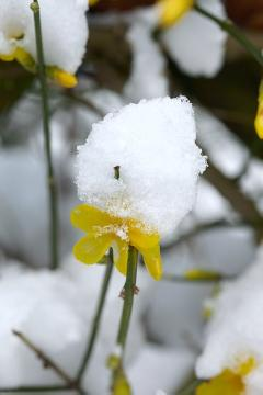 snow, Winter impression, Winter Jasmine, Winterblüher
