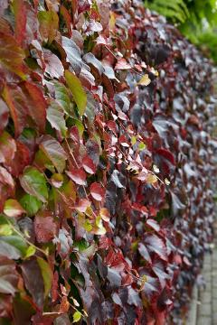 Climber and Rambler, fall foliage, fall impression, Parthenocissus tricuspidata, planting vegetation on wall