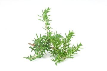 Rosemary, white background