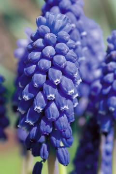 atmosphere, Frühlingsstimmung, grape hyacinth (Genus), Muscari botryoides