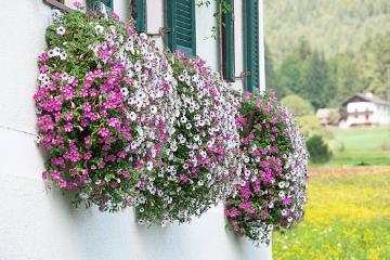 Fensterschmuck, petunia (Genus), window box, window