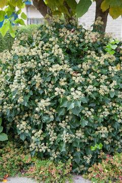 climbing plant, Common Ivy