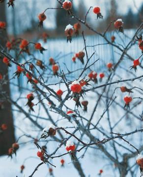 Beeren, Rosa canina, snow, Winter impression