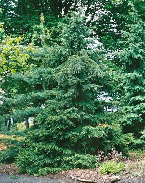 conifer, Tsuga mertensiana