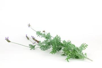 Duftpflanze, Lavandula multifida, Spice plant, white background