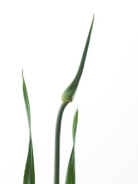 onion (Genus), Ornamental onion, Trend und Stil, white background