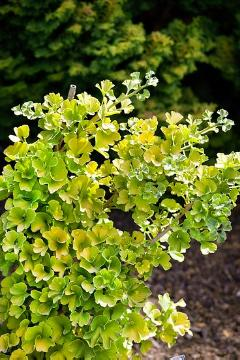 Maidenhair Tree