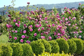 Buxus (Genus), English Rose