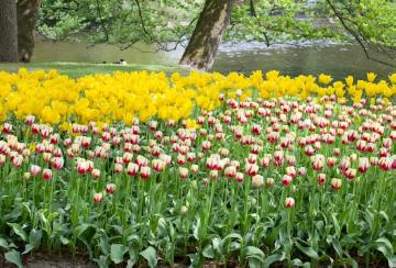pond, Springtime, tulip bed, Tulipa Single Late