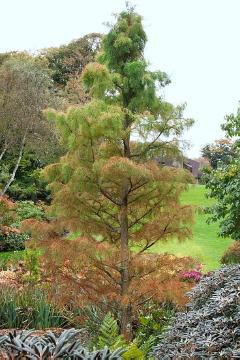 conifer, fall foliage, Pond Cypress