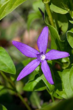 Bodenbedeckende Pflanze, Bodendecker, Greater Periwinkle, periwinkle (Genus), Shrubs and Palms, single flower