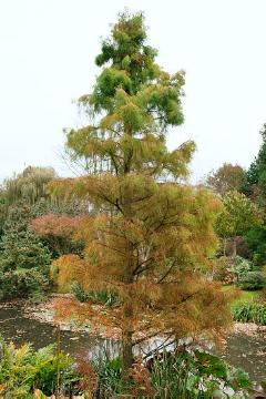 bald cypress (Genus), conifer, fall foliage, Pond Cypress