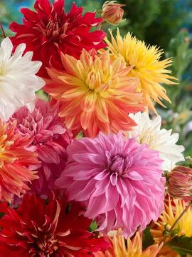 All Hallows, Bulb and corm, dahlia (Genus), large bloom Dahlia, Mixture (Mix)