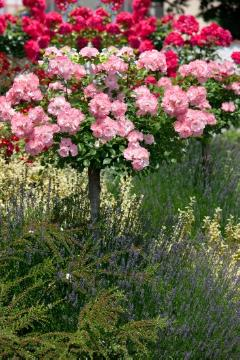 cotoneaster (Genus), lavender (Genus), long stemmed rose, long stemmed