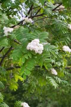 Berry of the Mountain-Ash, mountain ash (Genus), Shrubs and Palms