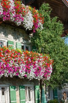 annuals, beggarticks (Genus), Einjährige Pflanzen Mischung, facade, Haus, Hauswand, House wall greening, Malus domestica, Mixture (Mix), Pelargonium (Genus), petunia (Genus), window
