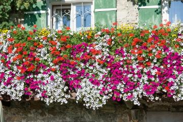 annuals, beggarticks (Genus), Einjährige Pflanzen Mischung, facade, Haus, Hauswand, House wall greening, Mixture (Mix), Pelargonium (Genus), petunia (Genus), window