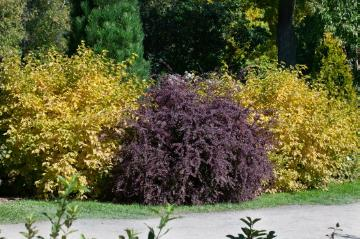 Barberry, Cornus (Genus), garden design, Garten, Mixture (Mix), Shrubs and Palms