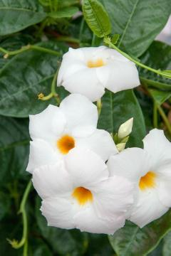 Climber and Rambler, Mandevilla (Genus)