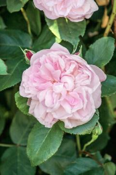 Provence Rose, Shrub rose